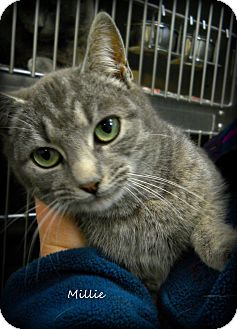 Domestic Shorthair Cat for adoption in Spruce Pine, North Carolina - Millie