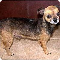 Adopt A Pet :: Boogles - Scottsdale, AZ