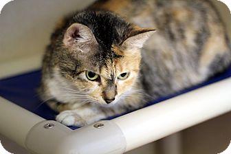 Domestic Shorthair Cat for adoption in Chicago, Illinois - Bridgette Widgette