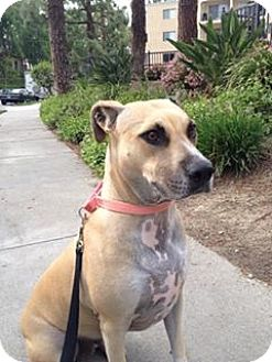 Shepherd (Unknown Type) Mix Dog for adoption in Los Angeles, California - HARMONY