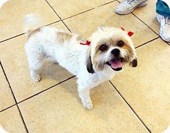 Lhasa Apso Mix Dog for adoption in Los Angeles, California - QUINN