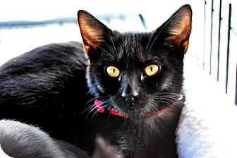 Domestic Shorthair Kitten for adoption in Temecula, California - Paris
