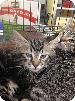 Domestic Shorthair Kitten for adoption in Ogden, Utah - Peeta