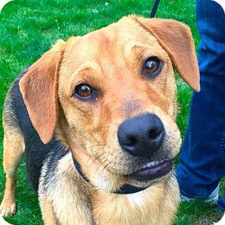 Corgi/Beagle Mix Dog for adoption in Worcester, Massachusetts - Joey