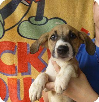 Golden Retriever/Labrador Retriever Mix Puppy for adoption in Oviedo, Florida - Rocky