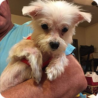Maltese/Yorkie, Yorkshire Terrier Mix Dog for adoption in Washington, Pennsylvania - Brandyn