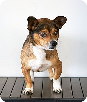 Dachshund/Corgi Mix Dog for adoption in Berkeley, California - Caesar