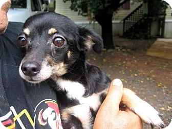 Chihuahua Mix Dog for adoption in Lincolndale, New York - Mona