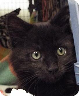 Domestic Longhair Kitten for adoption in Grants Pass, Oregon - Captain