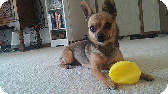 Chihuahua Dog for adoption in China, Michigan - Sofie