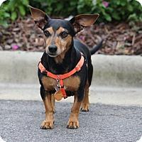 Adopt A Pet :: Daisy - Pinehurst, NC