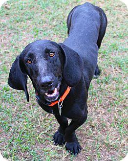 Basset Hound/Labrador Retriever Mix Dog for adoption in Shreveport, Louisiana - Mrs Butterworth
