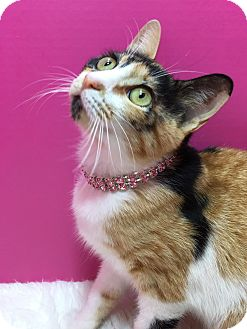 Calico Cat for adoption in Houston, Texas - Bella