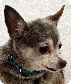 Chihuahua/Pomeranian Mix Dog for adoption in Bridgeton, Missouri - Turbo