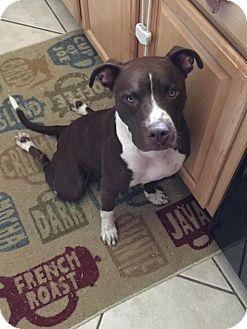 Pit Bull Terrier/Labrador Retriever Mix Dog for adoption in Centerburg, Ohio - Gemma