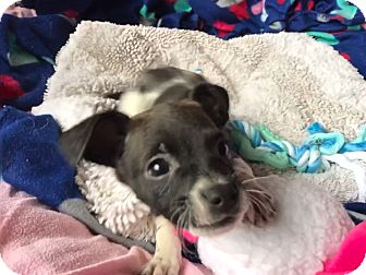 Terrier (Unknown Type, Small)/Jack Russell Terrier Mix Puppy for adoption in Redmond, Washington - Roxy
