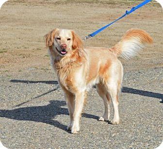 Golden Retriever/Husky Mix Dog for adoption in Gardnerville, Nevada - Indy