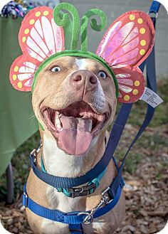 Pit Bull Terrier Mix Dog for adoption in Gainesville, Florida - Charlotte
