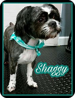 Shih Tzu Mix Dog for adoption in Plainfield, Illinois - Shaggy