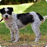 Adopt A Pet :: LUNA - video to view - Marina Del Ray, CA