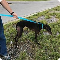 Adopt A Pet :: Lisa Marie - Independence, MO