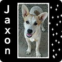 Adopt A Pet :: Jaxon - Castaic, CA