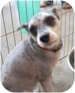 Schnauzer (Miniature) Dog for adoption in Homestead, Florida - FT LU
