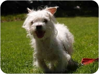 Terrier (Unknown Type, Small) Mix Dog for adoption in El Cajon, California - Wesley