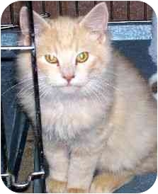 Domestic Mediumhair Cat for adoption in Baltimore, Maryland - Sammy