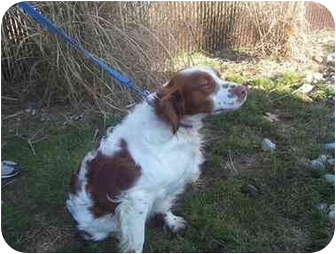 Brittany Dog for adoption in West Creek, New Jersey - BEAU - Adoption Pending!