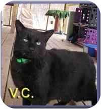 Domestic Shorthair Cat for adoption in Aldie, Virginia - V.C.