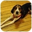 Photo 1 - Treeing Walker Coonhound/Foxhound Mix Dog for adoption in Brooklyn, New York - Taylor