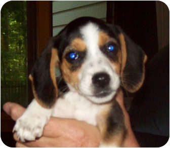 Beagle Mix Puppy for adoption in Southport, North Carolina - Carley