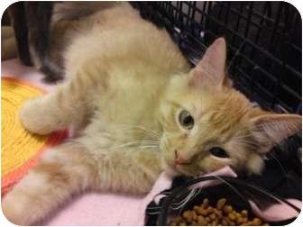Domestic Mediumhair Kitten for adoption in St. Louis, Missouri - Jude