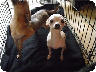 Chihuahua/Chihuahua Mix Dog for adoption in Wilminton, Delaware - Sammy