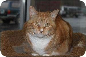 Domestic Shorthair Cat for adoption in North Branford, Connecticut - Bella
