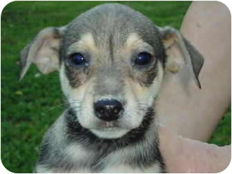 Chihuahua/Mountain Cur Mix Puppy for adoption in Plainfield, Connecticut - Isaac