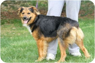 Australian Shepherd Mix Puppy for adoption in West Milford, New Jersey - BOONE SO SWEET