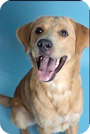 Golden Retriever/Labrador Retriever Mix Dog for adoption in New Canaan, Connecticut - Zeke