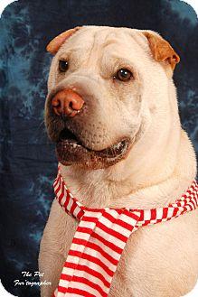 Shar Pei Dog for adoption in Houston, Texas - Harley