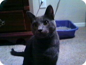 Domestic Shorthair Cat for adoption in Winder, Georgia - *Grayson