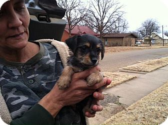Yorkie, Yorkshire Terrier/Chihuahua Mix Puppy for adoption in Childress, Texas - Tinkerbell