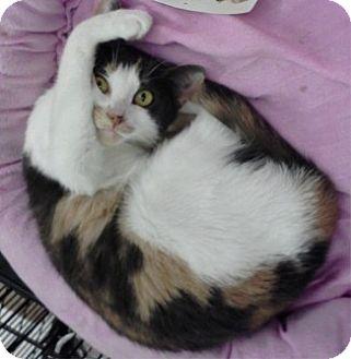 Calico Cat for adoption in Bear, Delaware - Sandra D.