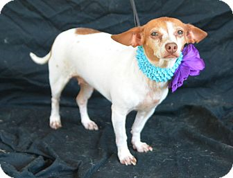 Chihuahua Mix Dog for adoption in Plano, Texas - Sierra