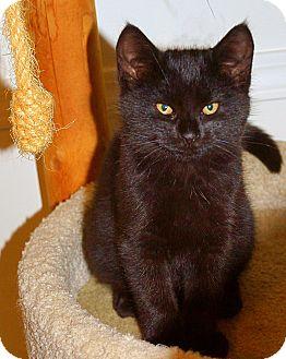 Domestic Shorthair Kitten for adoption in Victor, New York - Cinder
