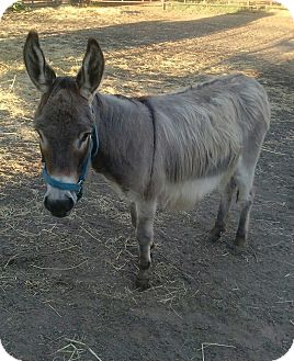 Donkey/Mule/Burro/Hinny for adoption in Ponca City, Oklahoma - June Bug
