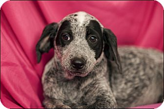 Blue Heeler/Bluetick Coonhound Mix Puppy for adoption in Colville, Washington - Shilo