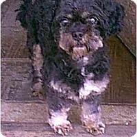 Adopt A Pet :: JO-JO - dewey, AZ