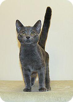 Russian Blue Kitten for adoption in Bellingham, Washington - Tatiana