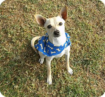 Chihuahua Mix Dog for adoption in El Cajon, California - Rocket